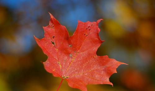 Esdoornblad, symbool van Canada, kleurt tijdens de Indian Summer (nazomer) vuurrood.