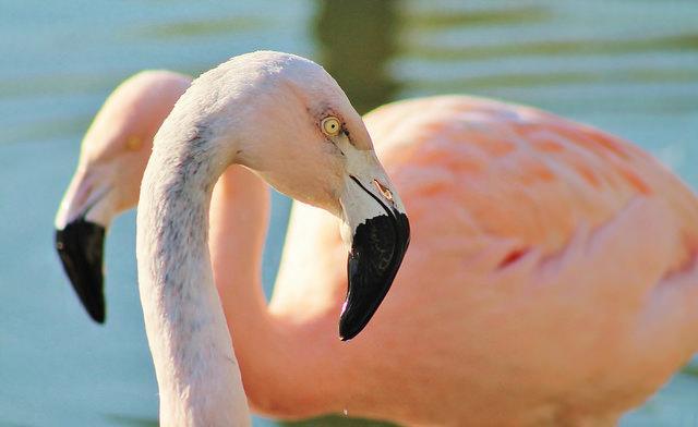 Twee roze flamingo's, genoemd naar Chili.