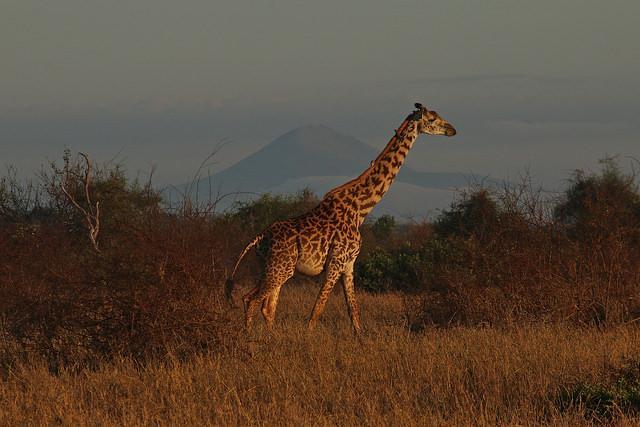 Een giraf wandelt door het droge gras, op de achtergrond schuilt een heuveltop in de mist.