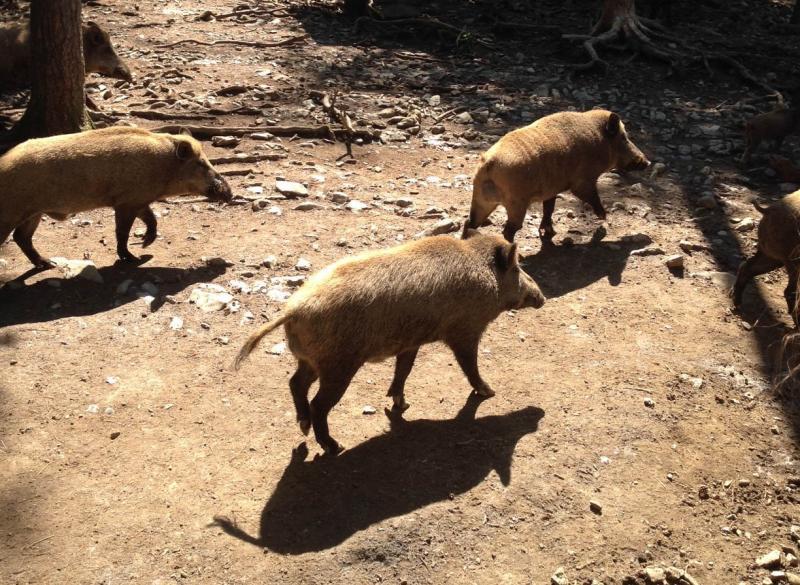 Drie jonge everzwijnen op wandel door een Ardeens bos.
