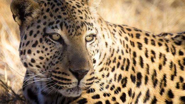Een luipaard rust uit.