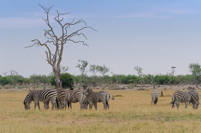 Zeven zebra's zitten zalig in de zon.