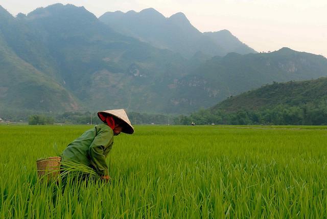 Een boerin met traditionele driehoekige strohoed bewerkt een rijstveld.