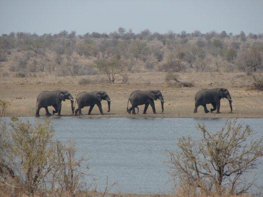 Vier olifanten wandelen door het landschap van Lesotho