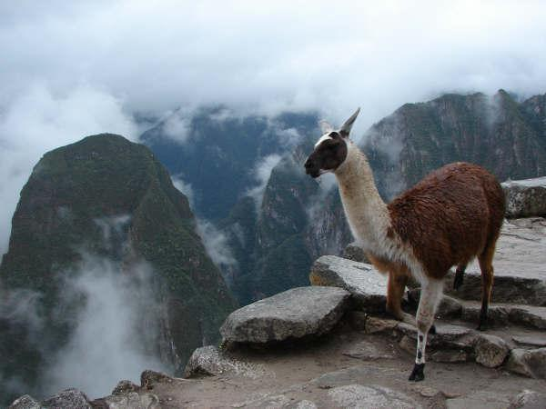 Een alpaca (soort lama) in het Andesgebergte.