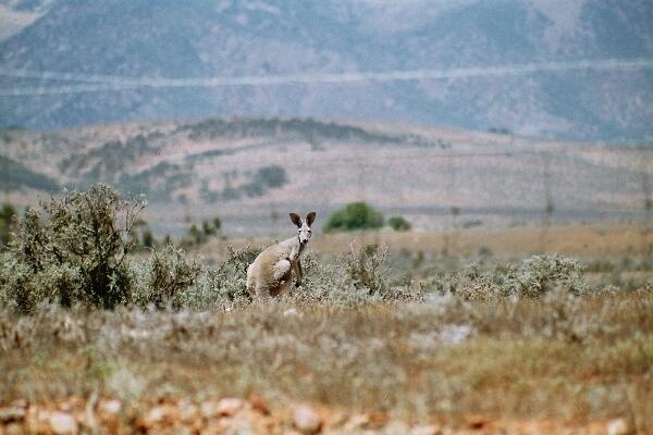Een kangoeroe kijkt je verbaasd aan.