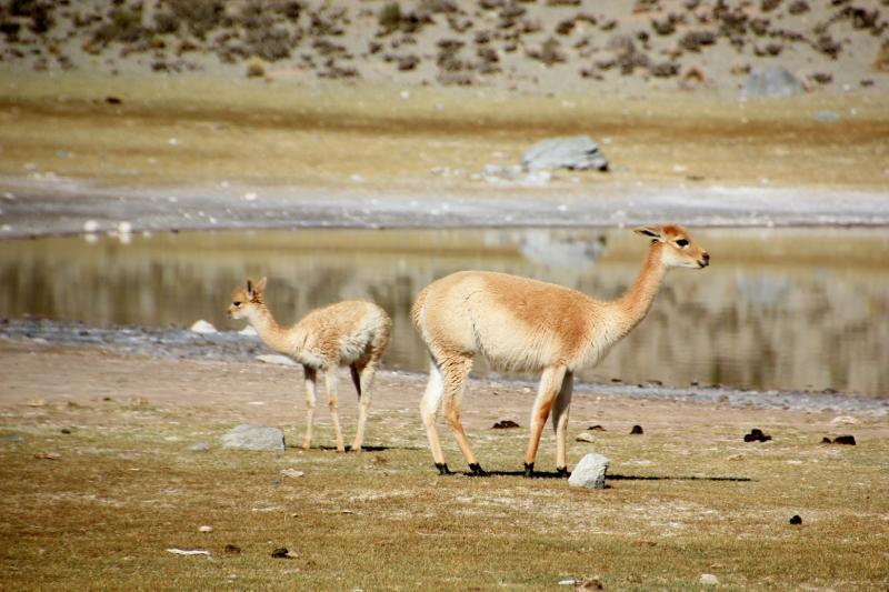 De vicuña lijkt wat op een lama of een alpaca.