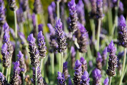 Detailfoto van lavendelbloemen