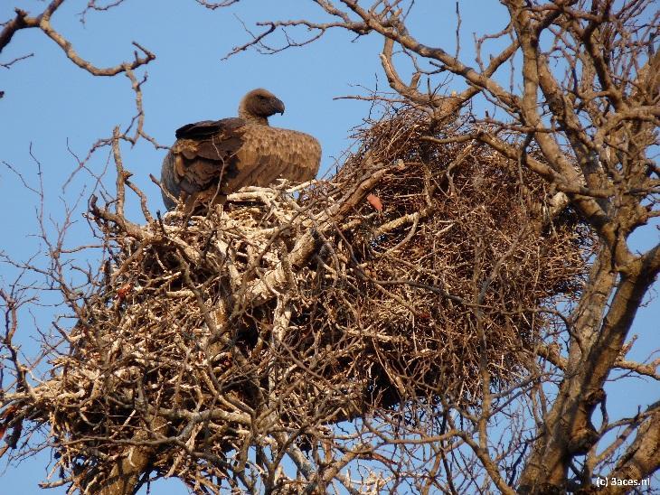 Een gier in haar nest