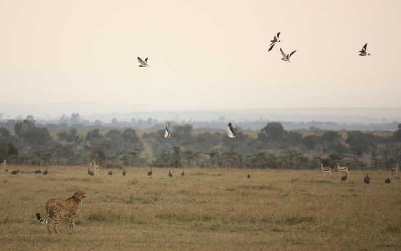 Ergens in de Riftvallei vliegen vogels op en waarschuwen zo de antilopen dat er een jachtluipaard in de buurt is.