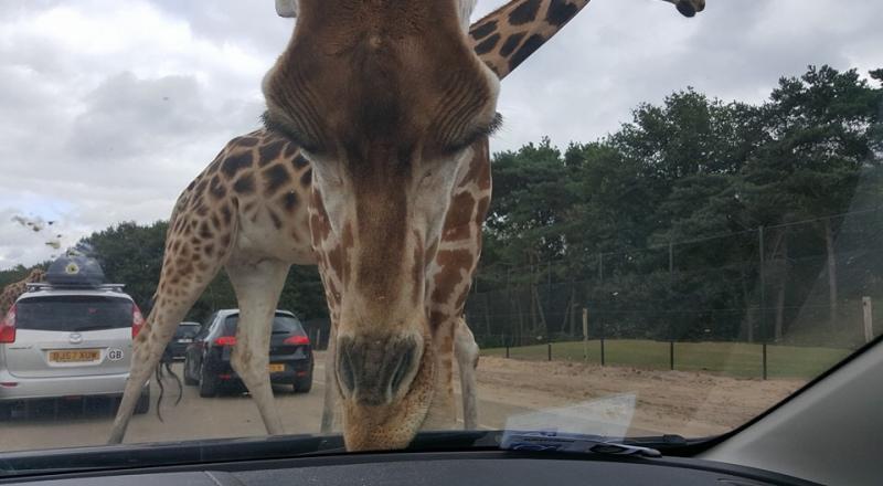 Een giraf komt met zijn kop tot vlak voor de voorruit en likt aan de motorkap..