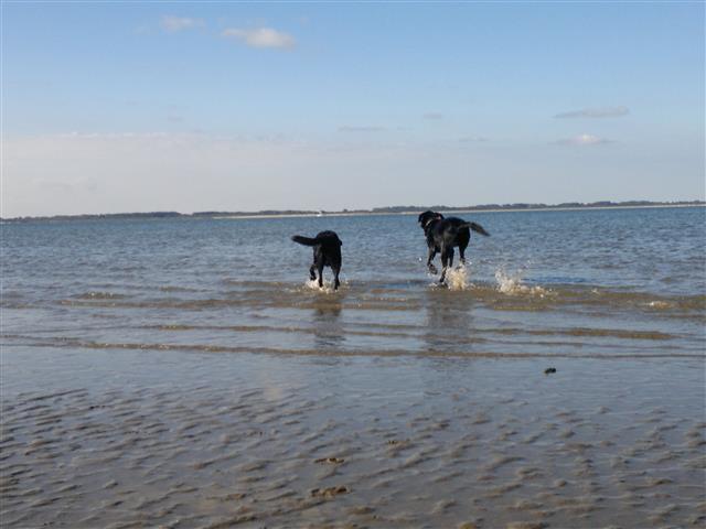 Xpencer (geleidehond) en Olly (geleidehond op rust) rennen de zee in.