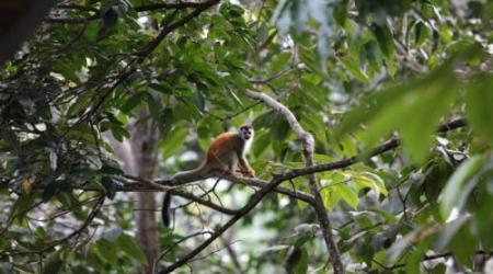 Een aap in het Costa Ricaanse regenwoud